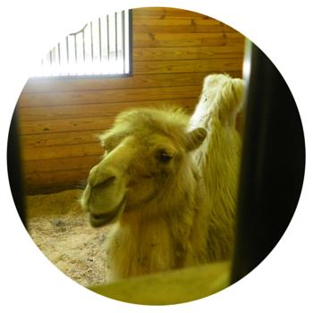 Green Chimneys - camel