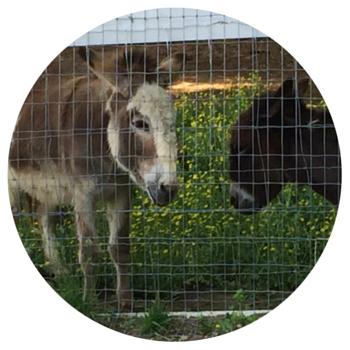 Green Chimneys - donkeys