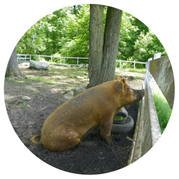 Green Chimneys - pig (1)