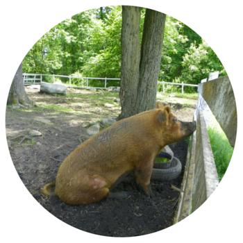 Green Chimneys - pig (1)